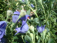 Purple_flowers_and_lilies_004